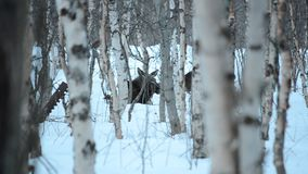 Moose mother and calf in birch tree winter forest resting on the snowy floor. Closeup video stock video footage