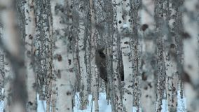 Moose mother and calf in birch tree winter forest standing on the snowy floor. Closeup video stock footage