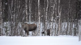 Moose mother and calf feeding from birch trees in winter. Nature in the arctic circle stock footage