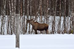 Moose mother feeding from birch trees in winter Stock Image