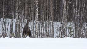 Moose mother feeding from birch trees in winter. Nature stock video