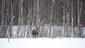 Moose mother feeding from birch trees in winter. Nature stock footage