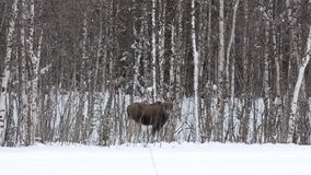Moose mother feeding from birch trees in winter nature stock video