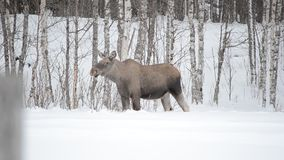 Moose mother feeding from birch trees in winter nature. Closeup stock video footage