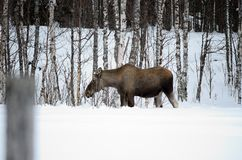 Moose mother feeding from birch trees in winter Royalty Free Stock Image