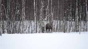 Moose mother feeding from birch trees in winter. Nature stock video footage