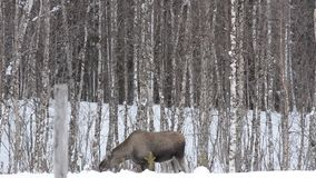 Moose mother feeding from birch trees in winter nature stock footage