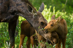Moose mother and twin calves caress Stock Photo