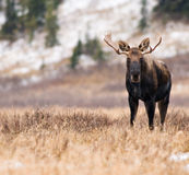 Moose in the Mountains Stock Images