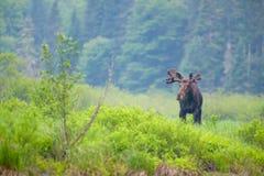 Moose near the river Stock Photo