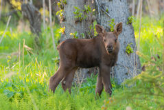 Moose. A newborn Moose calf hiding in the forest royalty free stock image