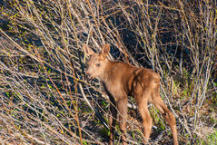 Moose. A newborn Moose calf hiding in the forest Royalty Free Stock Images