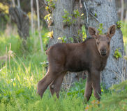 Moose. A newborn Moose calf hiding in the forest Stock Photo
