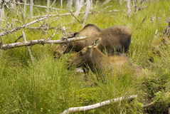 Moose in Newfoundland Royalty Free Stock Photo