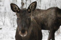 Moose. Nice moose at Langedrag nature park, hallingdal, norway Stock Images