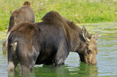 The moose Royalty Free Stock Photography