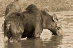 The moose Stock Photos
