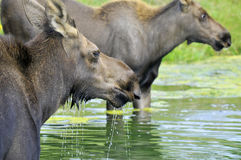 The moose Royalty Free Stock Photos
