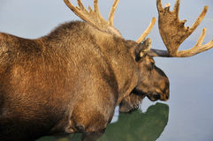 The moose Royalty Free Stock Photo