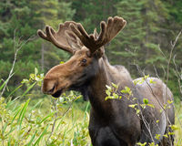 Moose in northern Ontario Royalty Free Stock Photography