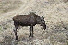 Moose in Norway Royalty Free Stock Photos