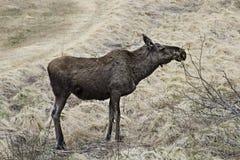 Moose in Norway Stock Photo