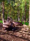 Moose in Norway Stock Image
