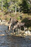 Moose and Offspring. Female moose and her offspring Royalty Free Stock Photography