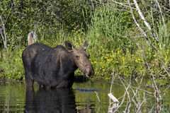 Moose in the Pond. Female moose feeding in a pond Stock Images