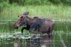 Moose in a pond royalty free stock photos