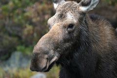 Moose Portrait. A close up look at a female moose Stock Photography