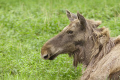 Moose portrait Royalty Free Stock Photos
