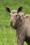 Moose portrait Stock Image