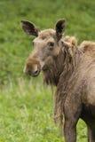 Moose portrait Royalty Free Stock Photos