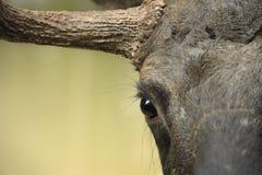 Moose portrait Stock Photos
