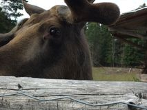 Moose portrait Stock Image