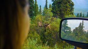 Moose POV of a women from the car Stock Image