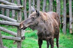 Moose. Royalty Free Stock Photo