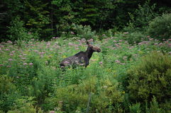 Moose in purple flowers Royalty Free Stock Photo