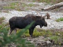 Moose in Quebec. Canada, north America. Stock Images