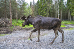From moose ranch in ed Royalty Free Stock Photos