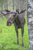 From moose ranch in ed, close-up Royalty Free Stock Image