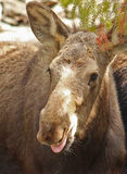 Moose Razzberry! royalty free stock photography