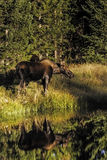 Moose Refection Royalty Free Stock Photos