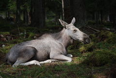 Moose resting in forest Royalty Free Stock Images