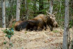 Moose resting Stock Photography