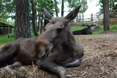 Moose resting in the zoo Stock Photos