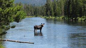 Moose in river Stock Photography