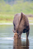 Moose in the river Stock Photo