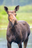 Moose in the river Royalty Free Stock Photo